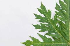 Papaya leaf text frame for your Stock Images