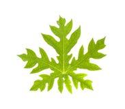 Papaya leaf Royalty Free Stock Images