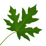 Papaya leaf on white background. The papaya leaf on white background Royalty Free Stock Photos