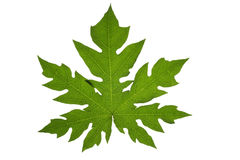 papaya leaf Stock Image