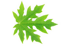 Papaya leaf Royalty Free Stock Photos