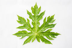Papaya leaf Stock Photography