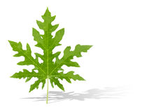 Papaya leaf on white background. Papaya leaf with green color Royalty Free Stock Photo