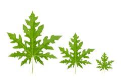 Papaya leaf on white background. Papaya leaf with green color on white background Stock Images