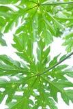 Papaya leafs Stock Image