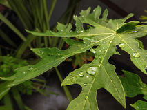 Papaya leafs after rain with some dew Royalty Free Stock Image