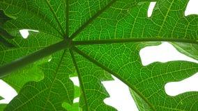 Papaya leafs texture. Stock Photos
