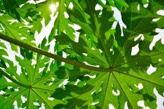Papaya leave. Royalty Free Stock Image