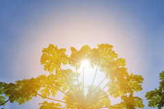 Papaya leaves against bright sky Royalty Free Stock Photography