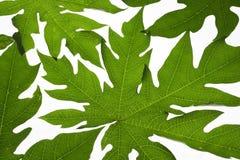 papaya leaves background Royalty Free Stock Image