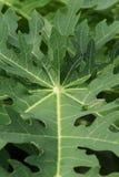 Papaya leaves Stock Photos