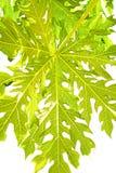 Papaya leaves Royalty Free Stock Images