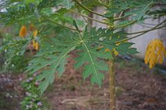 Papaya leaves, fruit tree originate from tropical America stock photography