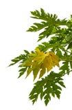 Papaya leaves Stock Image