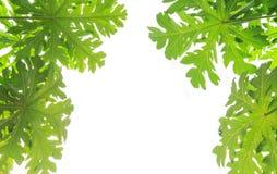 Papaya leaves on white background Stock Photos