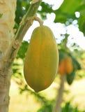 Papaya madura y cruda en el árbol Imagenes de archivo