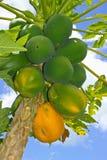 Papaya madura y verde Imágenes de archivo libres de regalías