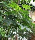 Papaya, or melon tree Carica papaya Stock Photography