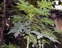 Papaya, or melon tree Carica papaya Stock Image