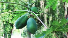 Papaya och bris för tropisk frukt lager videofilmer