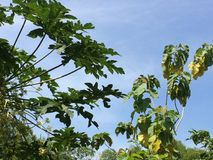 Papaya- och teakträblad Arkivbild