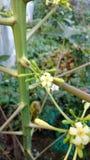 Papaya oder Carica Papaya Blume Stockbilder