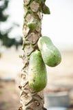 Papaya på ett träd Royaltyfria Bilder