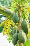 Papaya på papayaträdet Royaltyfria Bilder