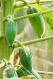 Papaya på papayaträdet Royaltyfria Foton