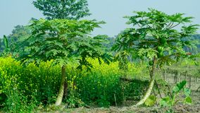Two papaya tree in indian agriculture. The papaya, papaw, or pawpaw is the plant Carica papaya, one of the 22 accepted species in the genus Carica of the family stock photography
