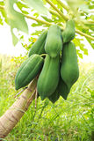 Papaya on the papaya tree Stock Images