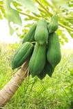 Papaya on the papaya tree Stock Images