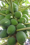 Papaya on the papaya tree. Raw papaya on the papaya tree Royalty Free Stock Photography