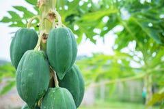 papaya on the papaya tree Stock Image