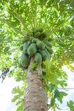 Papaya on the papaya tree Stock Photography