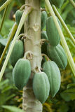 Papaya on the papaya tree. Royalty Free Stock Photos