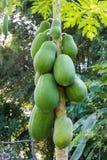 Papaya on the papaya tree Royalty Free Stock Photos