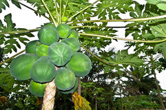 Papaya pawpaw. Tree with green fruits Stock Photos