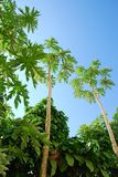 Papaya plant in garden. They are papaya plant in garden.this place is in east of thiland Stock Image