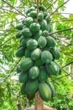 Papaya on plant Stock Photos