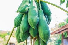 Papaya on plant the papaya tree Royalty Free Stock Image