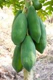 Papaya on plant Stock Photography