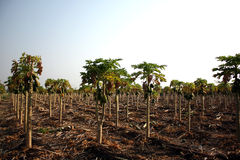 Papaya Plantation Royalty Free Stock Photos