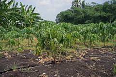 Papaya planting farm, weed control by post emergence herbicide. Weed management on farm stock image
