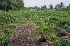 Papaya planting farm, weed control by post emergence herbicide. Weed management on farm stock photo