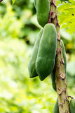 Papaya. Plants biennial useful. To do many things Stock Images