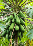 Papaya. Plants biennial useful. To do many things Stock Photo