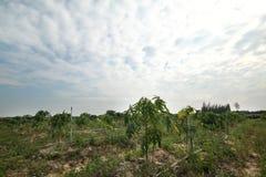 Papaya que cultiva un huerto, fruta de la hierba en árbol con el abastecimiento de agua Fotos de archivo libres de regalías