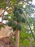 Papaya raw fruits on tree royalty free stock photo