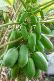 Papaya. Is rich with the fruit full early Royalty Free Stock Photography